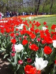 Meser Tulipano 8