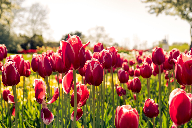 messer tulipano pralormo